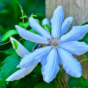 by Victoria Eversole - Flowers Single Flower ( tropical flowers, clamatis, blue flowers )