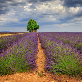 Valensole Lavender by David Long - Landscapes Prairies, Meadows & Fields ( provence, lavender, valensole )
