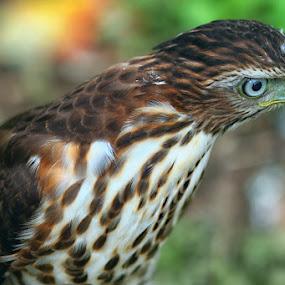 Hawk 4 by Dimas N - Animals Birds