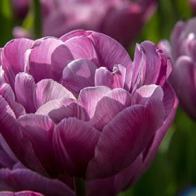 by Ruth Sano - Flowers Flower Gardens ( spring colorful flowers, purple, tulip, garden, spring, flower,  )