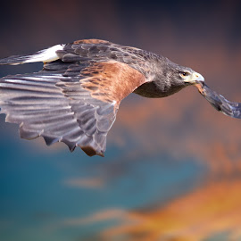 Red-shouldered Hawk In Flight by Sandy Scott - Animals Birds ( animals, avian, wildlife, skies, hawk, predators, birds of prey, nature, wings, sunset, hawk in flight, raptor, sunrise, red-shouldered hawk )