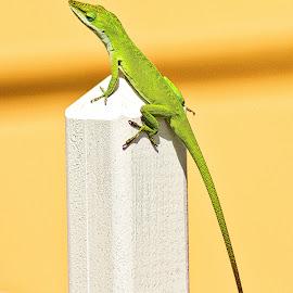 Lizard by Jim Antonicello - Animals Reptiles ( lizard, yard, fence post, salamender )