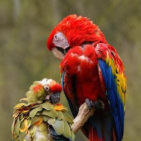 Mother And Child by Howard Mattix - Animals Birds ( animals, portrait., colorful, bieds, nature up close, tropical birds,  )