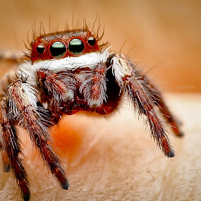 Jumper by Oren Kaler - Animals Insects & Spiders ( up close, nature )