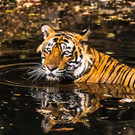 Royal Bengal Tiger (T-24 Ustaad) by Swapan Banik - Animals Lions, Tigers & Big Cats ( wild animal, big cat, wild, reflection, tiger in water, tiger, royal bengal tiger, tiger with reflection, tiger from india )