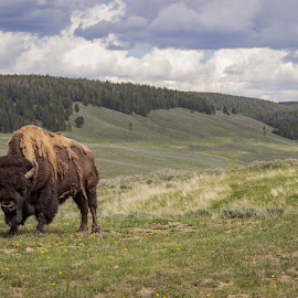 King of the valley by Robert Klusaw - Novices Only Wildlife ( buffalo, yellowstone, bison, valley, landscape )