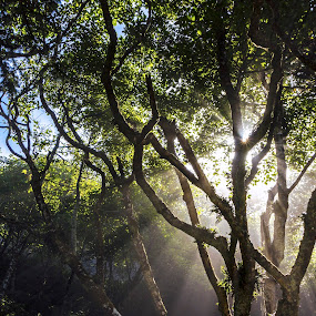 by Eric Hanson - Landscapes Forests ( light rays, tree, fog, pwcsunbeams, coast )