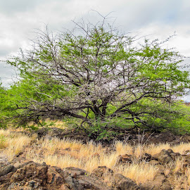Tree growing out of a lava bed by Ken Kaye - Landscapes Prairies, Meadows & Fields