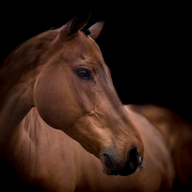 Q in the dark by Erik Kunddahl - Animals Horses ( equine, riding, horse, ridingsport, nikon, black )