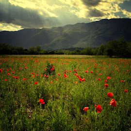 Poppy field by Luigi Esposito - Landscapes Prairies, Meadows & Fields ( field, natural light, mountains, mountain, nature, poppy, flowers, flower )