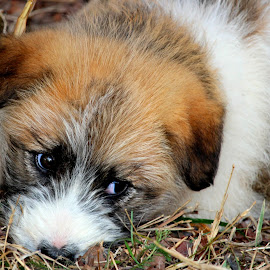 by Carmen Baltianu - Animals - Dogs Puppies