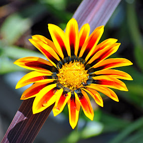 by Debra Lynde - Nature Up Close Gardens & Produce ( asteraceae, pwcflowergarden-dq,  )