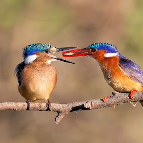 Malachite Kingfisher feeding juvenile by Neal Cooper - Animals Birds