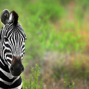 One ear Zebra by Aaron St Clair - Animals Other ( one ear, green, south africa, safari, zebra, landscape )