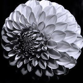 Dahlia Bride by Lee Jorgensen - Nature Up Close Gardens & Produce ( macro, black & white, dahlia, close up, flower )