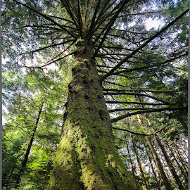 treees by Brandon Hemphill - Novices Only Landscapes ( oregon, tree, wide angle, green, tall )
