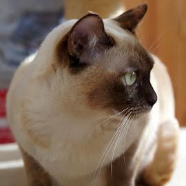 tortie burmese cat by Caroline Beaumont - Animals - Cats Portraits ( tortie burmese cat )