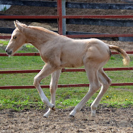 9 day old colt by Missy Moss - Animals Horses