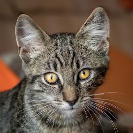 The look by Andrej Kozelj - Animals - Cats Portraits ( eye, domestic, cats, kitten, cat, domestic cat, tiger, eyes )