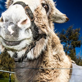 Smiling Donkey by Joseph Callaghan - Animals Other Mammals ( farm, bright, donkey, cute, smile, shrek )