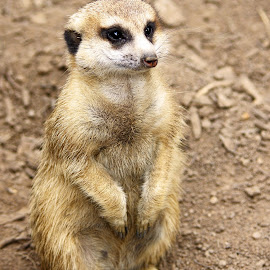 Meerkat by Ingrid Anderson-Riley - Animals Other Mammals