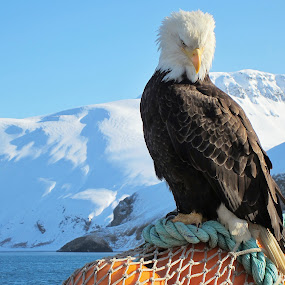 Regal Eagle by Capt Jack - Animals Birds ( deadliest catch, eagle, winter, aleutians, alaska, bald eagle, fishboat, fishing, bering sea )