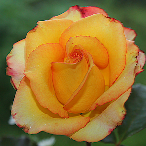 !!Rose multi2_Fotor.jpg