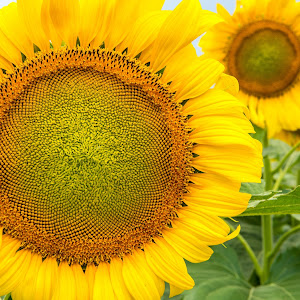 Sunflowers-7797.jpg