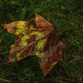 Military autumn  by Daiva Bičkauskaitė - Nature Up Close Leaves & Grasses