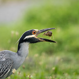 Night Crowned Heron by Chaya Manob - Animals Birds ( bird, nature, hunting, wildlife, animal )