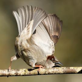 passer sparrow by Dragomir Taborin - Animals Birds