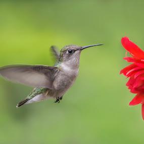 Hummer on Red Flower by Sue Matsunaga - Animals Birds