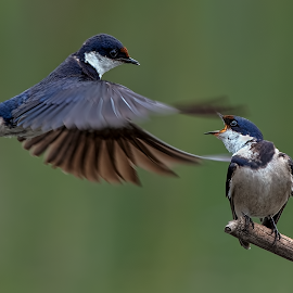 A Little Squabble by Richard Wicht - Animals Birds ( wild animal, wild, south africa, wildlife, swallowtail, birds, bird in flight, bird, wild life, nature, swallow, africa, bif )