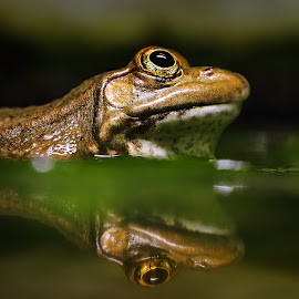 Frog's eye by Gérard CHATENET - Animals Amphibians