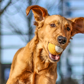 Fetch by Caitlin Lisa - Animals - Dogs Portraits ( fetch, puppy, dog, running, tennis ball, golden retriever )