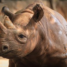 Portrait of a Rhinoceros by Briand Sanderson - Animals Other Mammals ( ungulate, nature, rhinoceros, horn, rhino, mammal, animal )