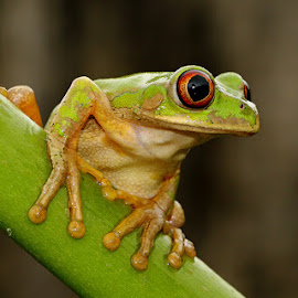 Ready to Leap by David Knox-Whitehead - Animals Amphibians ( frog, green, amphibian, frogs, amphibians, eyes )