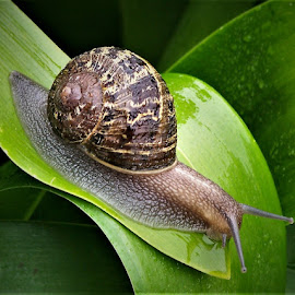 Snail by Sarah Harding - Novices Only Wildlife ( nature, outdoors, novices only, wildlife, snail )