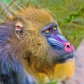 Mandrill: Looking Up by Judy Rosanno - Animals Other Mammals ( headshot, ape, mandrill, houston zoo, closeup,  )