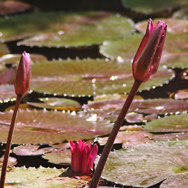 Water lily and pads.  by Shari Linger - Nature Up Close Other plants ( ponds, water gardens, lily pond, tropical, gardens, water lily, lily pads, botanical gardens,  )