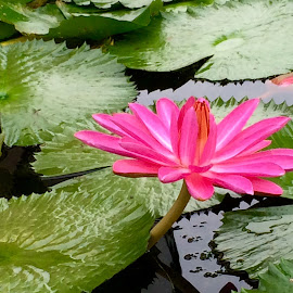 water lily by Janette Ho - Instagram & Mobile iPhone