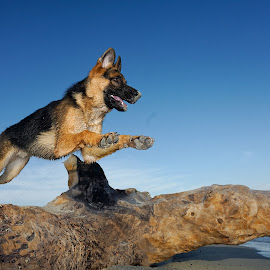 Baby Hope by Joseph Balson - Animals - Dogs Running ( play, beach, german shepherd, dog, jump, hope )