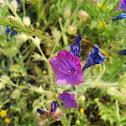 Purple Viper's-bugloss