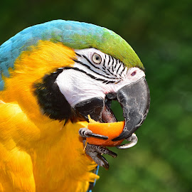 Macaw Eating a Tangerine by Tracy Starr - Animals Birds ( exotic pet, tropical, beautiful, parrot, colorful face, animal face, bird eating fruit, close up, bird, macaw face, colorful animal, bird tongue, beak, macaw )