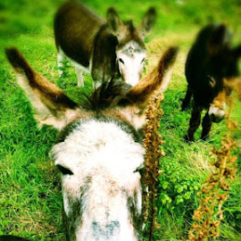 Hello  by Liadh Crowley  - Animals Other ( donkey, close up, portrait, animal )
