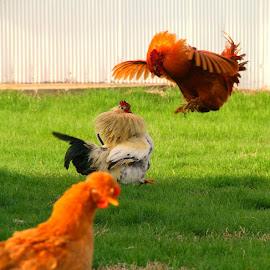 She is MINE!! by Corinna Burton - Animals Birds ( farm, chicken, rooster, hen )