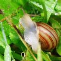 Striped Whitelip Snail