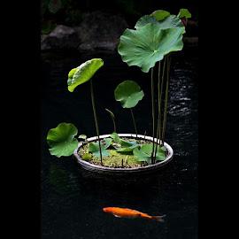 koi under pot by Yudha Adillasaputra  - Instagram & Mobile Instagram ( fish, koi, pot, plant, taro )