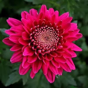 crysant merah pixoto.jpg