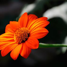 Underlight by Hirian Raul - Nature Up Close Flowers - 2011-2013 ( orange, macro, nature, monet, light, flower, soft )